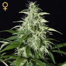 Auto Kalashnikova - Green House Seeds