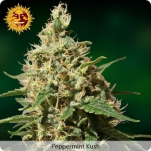 Peppermint Kush - Barney's Farm
