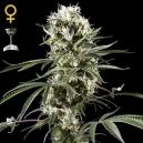 Super Silver Haze - Green House Seeds
