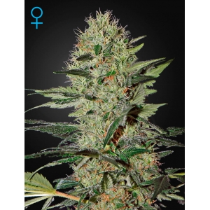 Auto Exodus Cheese - Green House Seeds