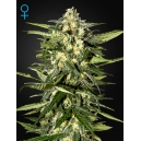 Auto Jack Herer - Green House Seeds