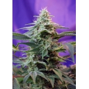 Sweet Special Auto - Sweet Seeds